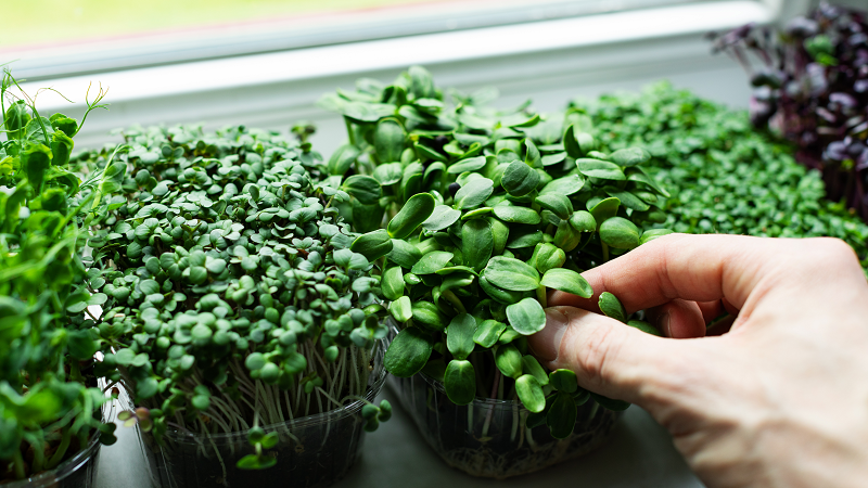 grow microgreens in your apartment